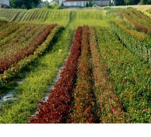 Zdjęcie pola róż